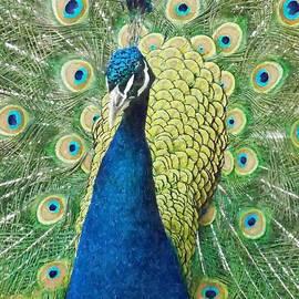 Sara  Raber - Male Peacock Watercolor