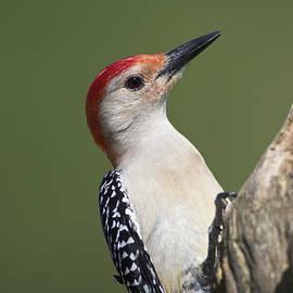 Gerald Marella - Male Red-Bellied Woodpecker 2