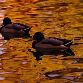 Jeff  Swan - Mallards on Golden water