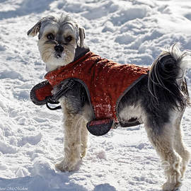 Barbara McMahon - Maltese Yorkie Out For A Winter Walk