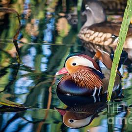 Peta Thames - Mandarin Duck Reflections