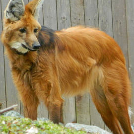 Emmy Marie Vickers - Maned Wolf