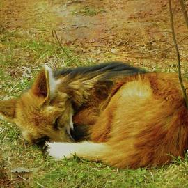 Sandi OReilly - Maned Wolf