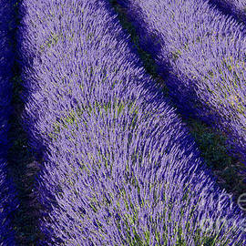 Manicured Lavender Rows