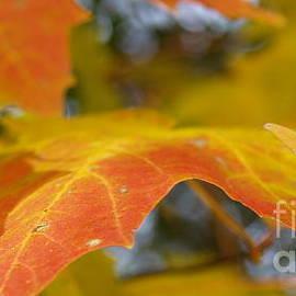 Anna Lisa Yoder - Maple Leaf Edges in Autumn