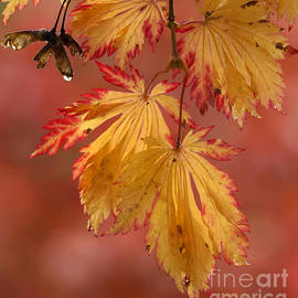 Inge Riis McDonald - Maple leaves in fall
