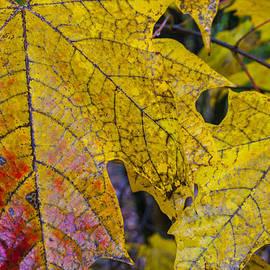 Robert Storost - Maple Leaves