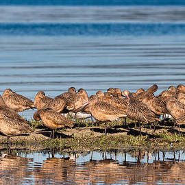 Kathleen Bishop - Marbled Godwits Reflected