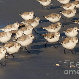 Chris Scroggins - March of the Sanderlings