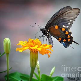 Nava  Thompson - Marigold Swallowtail