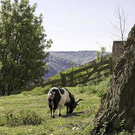 Teresa Mucha - Marksburg Castle Goat 02