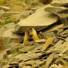 Jeff  Swan - Marmots Playing