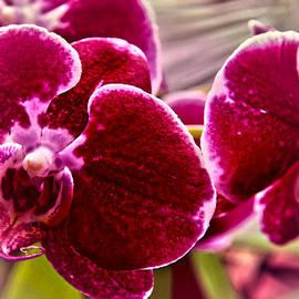 Lali Kacharava - Maroon orchid