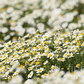 Anne Gilbert - Masses of Mayweed