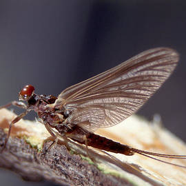 Raju Alagawadi - Mayfly