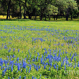 Connie Fox - Meadows of Blue and Yellow. Texas Wildflowers