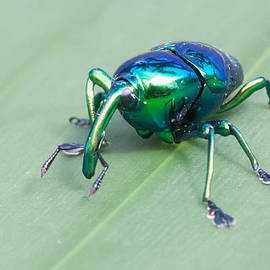 Craig Lapsley - Metallic Looking Weevil