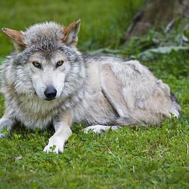 Sebastian Musial - Mexican Gray Wolf