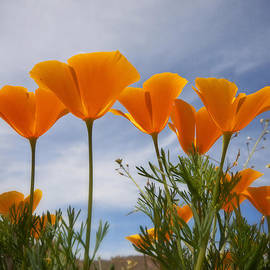 Saija  Lehtonen - Mexican Poppies