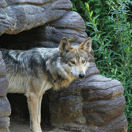 Judy Whitton - Mexican Wolf #2