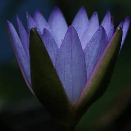 Judy Whitton - Midnight Water Lily
