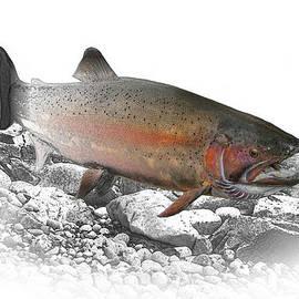 Randall Nyhof - Migrating Steelhead Rainbow Trout
