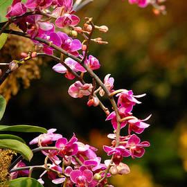 Glenn Morimoto - Miniature Moth Orchids