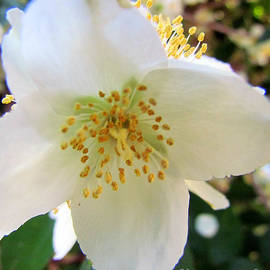 Elizabeth Dow - Mock Orange Macro