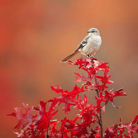 Bill  Wakeley - Mockingbird Autumn