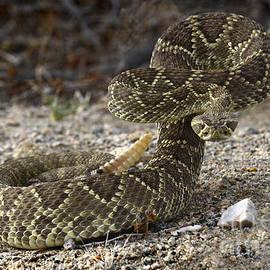 Bob Christopher - Mohave Green Rattlesnake Striking Position