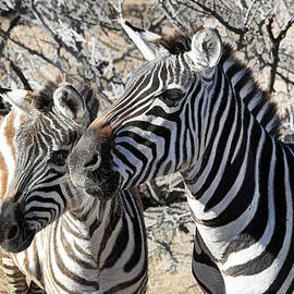 Donna Kennedy - Mom and Filly-  Zebras