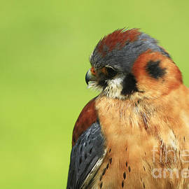Inspired Nature Photography By Shelley Myke - Moments of Beauty American Kestrel Falcon