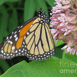 Ann Horn - Monarch and Milkweed