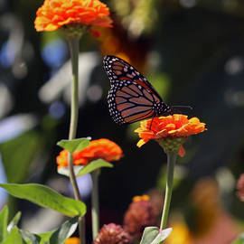 Kay Novy - Monarch Butterfly And Orange Zinnias