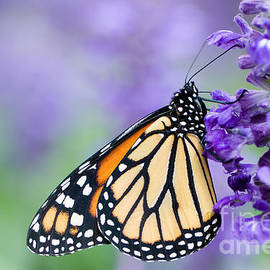 Oscar Gutierrez - Monarch butterfly Danaus plexippus on purple flower