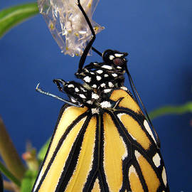 Inspired Nature Photography By Shelley Myke - Monarch Butterfly Emerging from Chrysalis