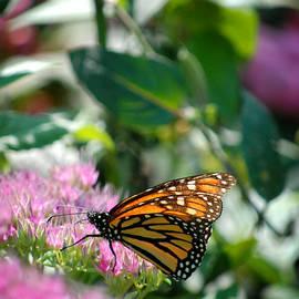 Glenn Morimoto - Monarch butterfly