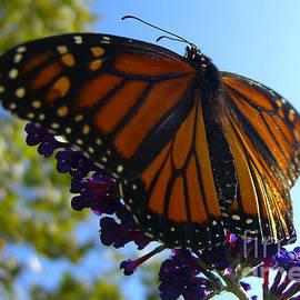 Kassia Ott - Monarch Butterfly