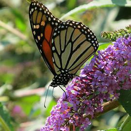 Melinda Saminski - Monarch Butterfly on Butterfly Bush