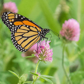 Patti Deters - Monarch Butterfly on Clover