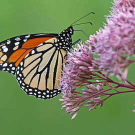 Juergen Roth - Monarch Butterfly Photography