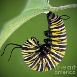Brandon Alms - Monarch Caterpillar