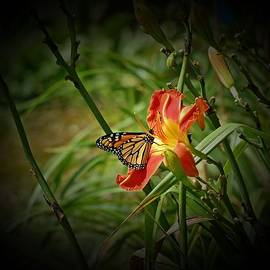 MTBobbins Photography - Monarch on Daylily