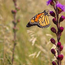 Lori Frisch - Monarch on the Prairie
