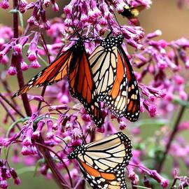 Robert  McKinstry - Monarch