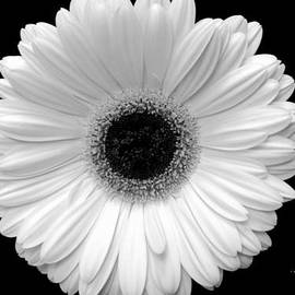 Jeannie Rhode Photography - Monochrome Gerbera Daisy