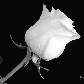 Jeannie Rhode Photography - Monochrome White Rose