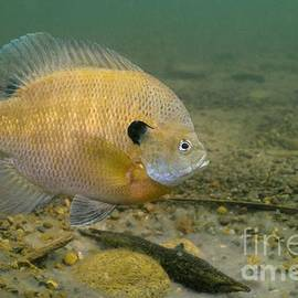 Engbretson Underwater Photography - Monster Bluegill