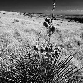 David Broome - Montana Prairie Yucca
