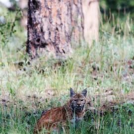 David Broome - Montane Bobcat